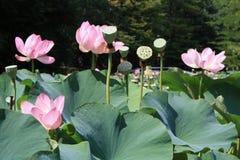 Flores de loto rosadas Imagen de archivo libre de regalías