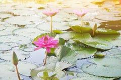 Flores de loto rosadas en la charca de loto Fotografía de archivo libre de regalías