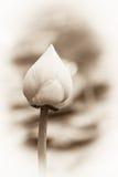 Flores de loto suaves Fotografía de archivo libre de regalías