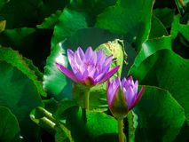 flores de loto violetas en una charca rodeada por las hojas verdes imágenes de archivo libres de regalías