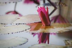 Flores de Lotus Imagem de Stock