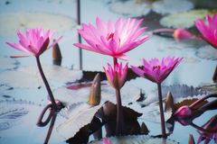 Flores de Lotus Foto de Stock