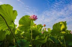 Flores de Lotus Foto de archivo libre de regalías