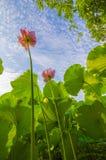 Flores de Lotus Foto de Stock Royalty Free