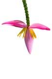 Flores de Lotus Fotografia de Stock Royalty Free
