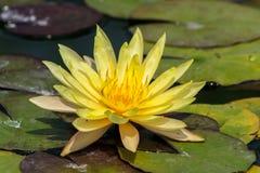 Flores de Lotus Imagem de Stock Royalty Free