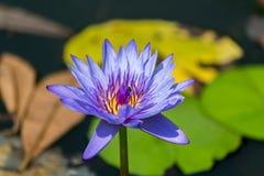 Flores de Lotus Fotos de Stock Royalty Free
