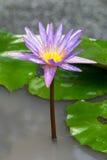 Flores de Lotus Imagens de Stock Royalty Free