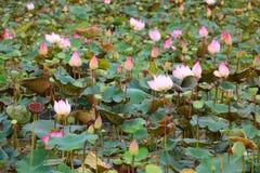 Flores de Lotus, Camboja, Ásia Imagem de Stock Royalty Free