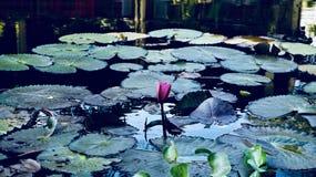 Flores de Lotus da água Imagens de Stock