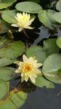 Flores de Lotus e almofadas de lírio Fotografia de Stock