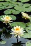 Flores de Lotus e flor de Lotus amarelas Foto de Stock Royalty Free