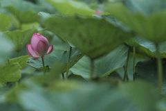 Flores de Lotus em dias de verão chuvosos Imagem de Stock Royalty Free