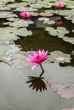 Flores de Lotus em Hanoi, Vietname Fotos de Stock Royalty Free