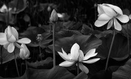 Flores de Lotus em uma lagoa Fotos de Stock Royalty Free