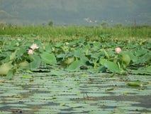 Flores de Lotus em uma lagoa em Ladakh-2 Foto de Stock