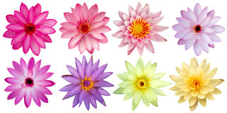 Flores de Lotus isoladas Imagem de Stock Royalty Free
