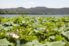 Flores de Lotus, lago ocidental, China, com o pagode de Leifeng no fundo Imagem de Stock Royalty Free