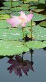 Flores de Lotus na lagoa Imagens de Stock Royalty Free