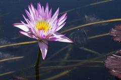 Flores de Lotus na lagoa Imagem de Stock