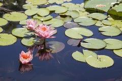Flores de Lotus na lagoa Foto de Stock Royalty Free