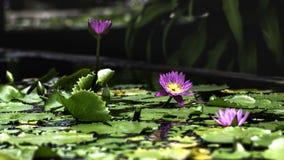Flores de Lotus no jardim imagens de stock royalty free