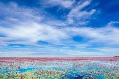 Flores de Lotus no lago Buadaeng Nong Han em Tailândia Fotos de Stock Royalty Free