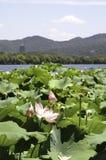 Flores de Lotus no lago ocidental, Hangzhou Imagens de Stock Royalty Free