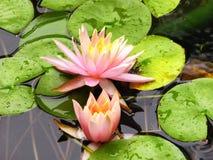 Flores de Lotus que florecen dentro del jardín de Guyi Foto de archivo libre de regalías