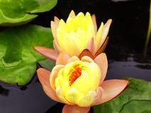 Flores de Lotus que florecen dentro del jardín de Guyi Imágenes de archivo libres de regalías