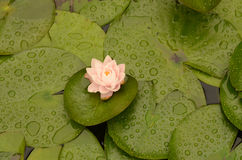 Flores de Lotus que florecen en medio de las hojas en la charca del lilypad Imagen de archivo libre de regalías