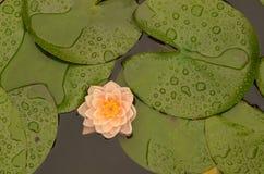 Flores de Lotus que florecen en medio de las hojas en la charca del lilypad Foto de archivo