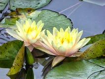 Flores de Lotus que florescem dentro do jardim de Guyi Fotografia de Stock Royalty Free