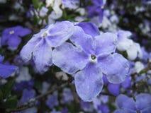 Flores de Manaca Foto de archivo libre de regalías