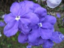 Flores de Manaca Fotos de archivo libres de regalías