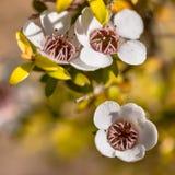 Flores de Manuka imagens de stock