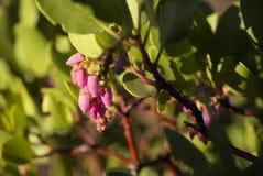 Flores de Manzanita Imagenes de archivo