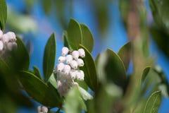 Flores de Manzanita Foto de archivo libre de regalías