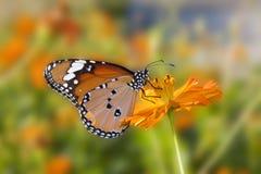 Flores de mariposa. Fotos de archivo libres de regalías