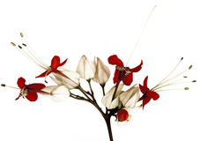 Flores de mariposa negras y rojas Fotos de archivo