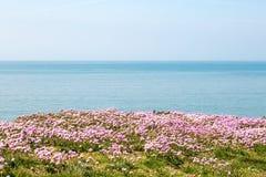 Flores de Maritima del Armeria con el mar detrás Foto de archivo libre de regalías