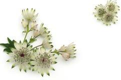 Flores de Masterwort aisladas en blanco Imagen de archivo