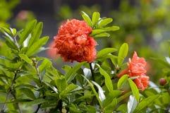 Flores de Megranate Foto de archivo libre de regalías
