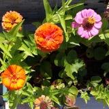 Flores de meu jardim Foto de Stock Royalty Free