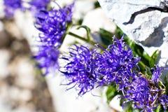 Flores de mirada divertidas azules en las montañas Fotografía de archivo