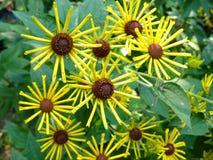 Flores de molinillo de viento amarillas Imágenes de archivo libres de regalías