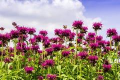 Flores de Monarda en un jardín Imagen de archivo