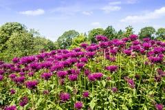 Flores de Monarda en un jardín Imágenes de archivo libres de regalías