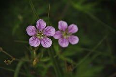Flores de Montana Fotos de Stock