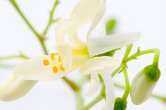 Flores de Moringa en blanco Fotografía de archivo libre de regalías